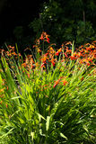 Orange crocosmia in an English garden Royalty Free Stock Photography