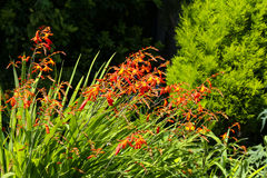 Orange crocosmia in an English garden Royalty Free Stock Photo
