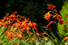 Orange crocosmia in an English garden Stock Image