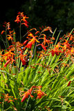 Orange crocosmia in an English garden Stock Photography