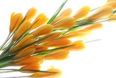 Orange crocus Royalty Free Stock Images