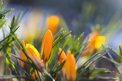 Orange crocus flowers macro view. Spring time landscape. Soft and blur background. shallow depth of field. Stock Photography