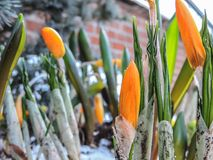 Orange Crocus Flowers in the snow Royalty Free Stock Photos