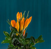 Orange crocus heuffelianus flowers, floral arrangement, bouquet, green background, close up Royalty Free Stock Images
