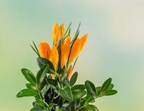Orange crocus heuffelianus flowers, floral arrangement, bouquet, green to yellow degradee background, close up Stock Images