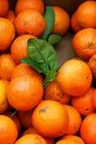 Orange crop Stock Photography