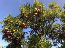 Orange crop in Palestine Royalty Free Stock Photos