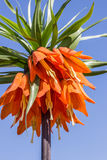 Orange crown imperial against blue sky Royalty Free Stock Photography