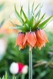 Orange crown imperial flowers Fritillaria imperialis Royalty Free Stock Photo