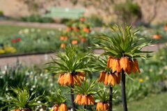 Orange crown imperial lilies, photographed at Eastcote House Gardens, London Borough of Hillingdon, UK in spring.