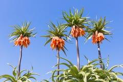 Orange Crown Imperial Lily, latin name - Frittilaria imperialis Royalty Free Stock Photo