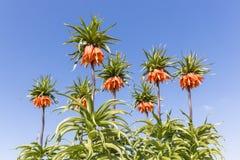 Orange Crown Imperial Lily, latin name - Frittilaria imperialis Stock Photo