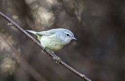 Orange- crowned Warbler songbird, Georgia USA stock photo