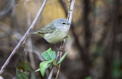 Orange- crowned Warbler songbird, Georgia USA royalty free stock photo