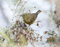 Orange-crowned warbler. The orange-crowned warbler likes to spend the winters in warm areas, from the southern US to Central America. Summer breeding season Royalty Free Stock Photography