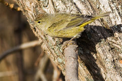 Orange-crowned Warbler Royalty Free Stock Image