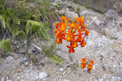 Orange crucifix orchid bloom in natural habitat Royalty Free Stock Photography
