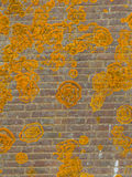 Orange Crustose lichen. On an old brick wall growing in circular forms. Crustose lichens form a crust that strongly adheres to the substrate (soil, rock, tree stock image