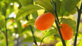 Orange cumquats in garden Valencia, Spain. Orange cumquats in garden Valencia Royalty Free Stock Photo