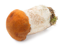 Orange-cup boletus Royalty Free Stock Photo