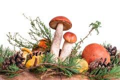 Orange-cup boletus mushroom isolated on the white background Royalty Free Stock Image