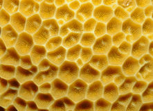 Orange cup coral, Balanophyllia elegans Stock Photography