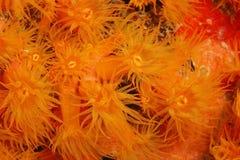 Orange Cup Coral (Tubastraea coccinea) Royalty Free Stock Image