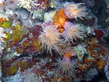 Orange Cup Coral2. Orange Cup Coral, Tubastrea coccinea. Appearing as flowers of the sea, the tentacles of an orange cup coral reach out in the waters. Known for Stock Images