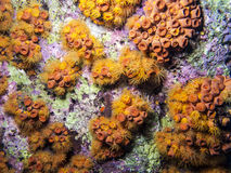 Orange Cup Coral; Tubastrea coccinea Stock Photo