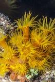 Orange Cup Corals Stock Photos