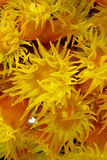 Orange cup corals Stock Images