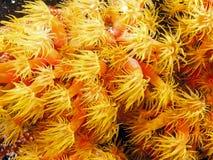 Orange cup corals Stock Image
