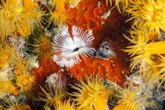 Orange cup corals Royalty Free Stock Image