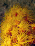 Orange cup corals Royalty Free Stock Photo