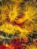 Orange cup corals Stock Photo