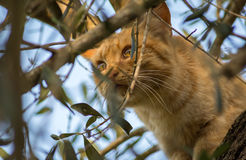 Orange cat on top of a tree hunting.  Royalty Free Stock Photo