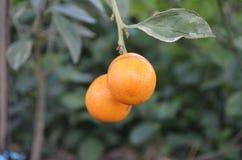 Orange. Cute orange in the garden stock photo