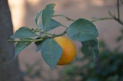 Orange. Cute orange in the garden royalty free stock photography