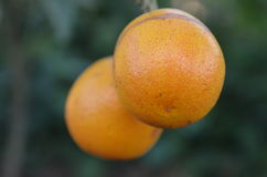 Orange. Cute orange in the garden royalty free stock images