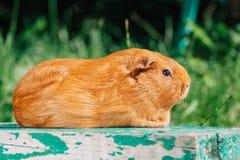 Orange cute guinea pig Stock Image
