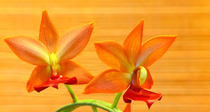Orange cycnoches orchids Royalty Free Stock Image