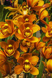 Orange Cymbidium Stock Images