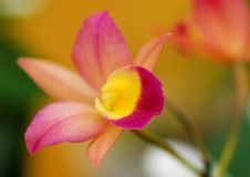 Orange Cymbidium orchid flower Royalty Free Stock Photo