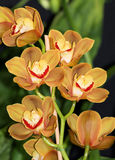 Orange Cymbidium orchids 3 Stock Photos