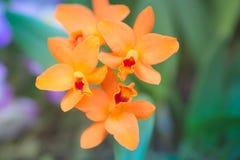 Orange cymbidium orchids. Closeup on beautiful blooming orange cymbidium orchids boat orchids, perfect winter indoor plants Stock Photography