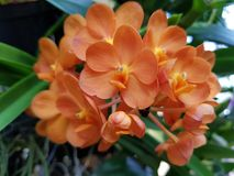 Orange d'orchidée Photos stock