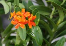 Orange d'orchidée Photos stock