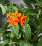 Orange d'orchidée Photographie stock libre de droits
