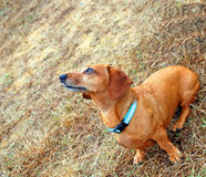 Orange Dachshund. An orange dachshund looks up at its owner Royalty Free Stock Image