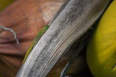 Orange daggecko som sitter en kokospalm royaltyfria foton